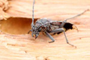 Insectes xylophages et vice caché en immobilier